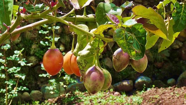 Tamarilo - drvo paradajza koje rađa veoma ukusne plodove