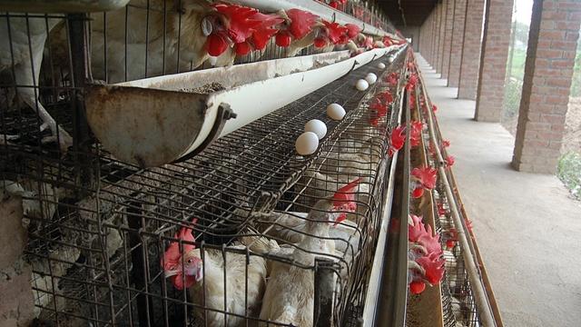 Razlike u načinima komercijalnog uzgoja koka nosilja