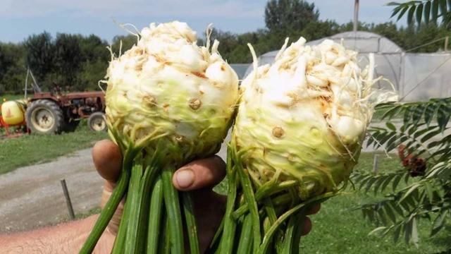 Celer - kultura sa najstabilnijom cenom na tržištu