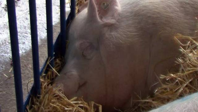 Direkcija za robne rezerve menja merkantilni kukuruz za tovne svinje i junad