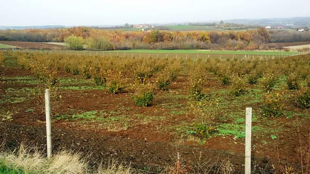 Za uspeh u gajenju lešnika bitno je i dobro zemljište