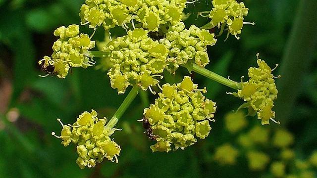Začin koji čisti telo: Selen može da se gaji i u saksiji