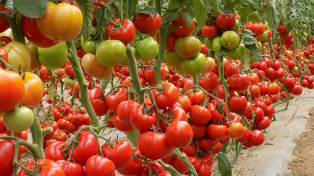 Proverite zbog čega se traži kesica više ovog paradajza