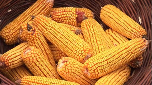Hibridi kukuruza tolerantni na visoke temperature i manjak vode u zemljištu