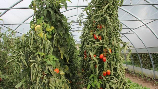 Korenove nematode uništavaju povrće u plastenicima - Evo kako ih se rešiti