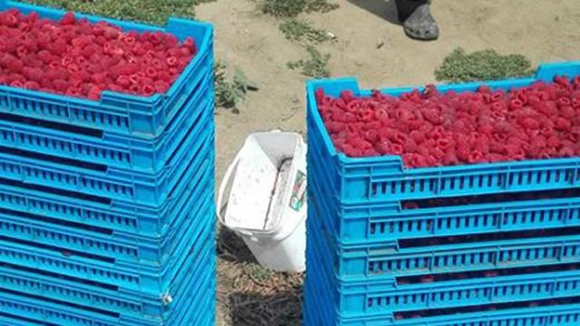 Proizvodnja organske maline - Obratite pažnju na agrotehničke mere