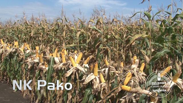 Uz ove hibride kukuruza visok prinos zrna je zagarantovan
