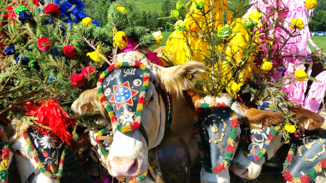 Govedima u čast: Tradicionalna parada na Alpima