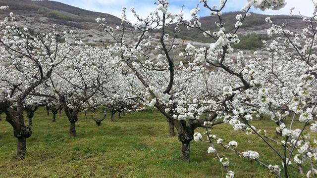 Položaj voćnjaka: Parcele izložene vetru nepovoljne za gajenje voća