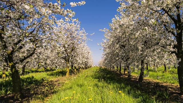 Kako pravilno negovati stare zasade voća