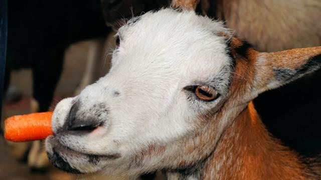 Upotreba krtolasto-korenastih hraniva u ishrani ovaca i koza