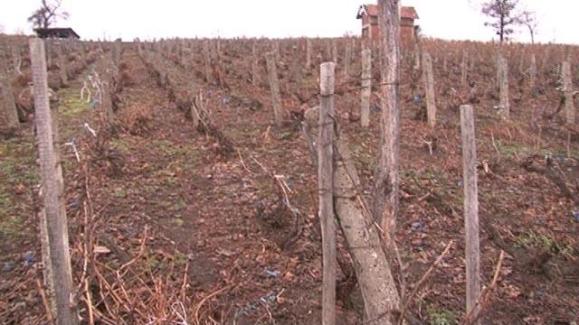 Kada je pravo vreme za zimsku rezidbu vinograda?