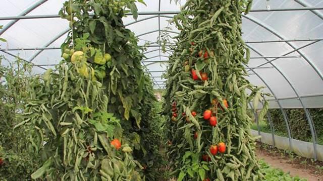 Promene navika potrošača i struktura godišnje potrošnje na tržištu paradajza u Srbiji