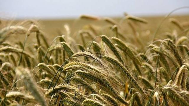 Prošle godine požnjeveno 2,64 milijardi tona žitarica