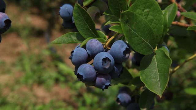 Stručnjaci savetuju Ovo je bitno kod proizvodnje borovnice!- © Agromedia