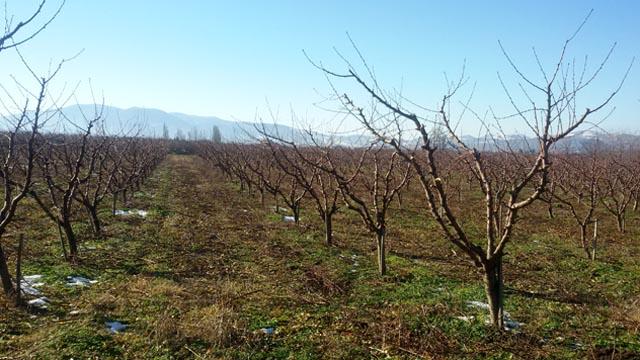 Podsecanje korena - agrotehnička mera za intenzivne zasade