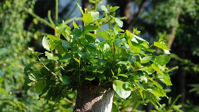 Kako suzbiti drvenaste biljke