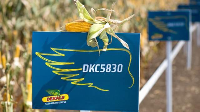Hibridi kukuruza idealni za proizvodnju u stresnim uslovima