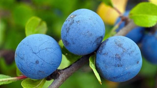 Zdravim sadnim materijalom do uspešne proizvodnje voća