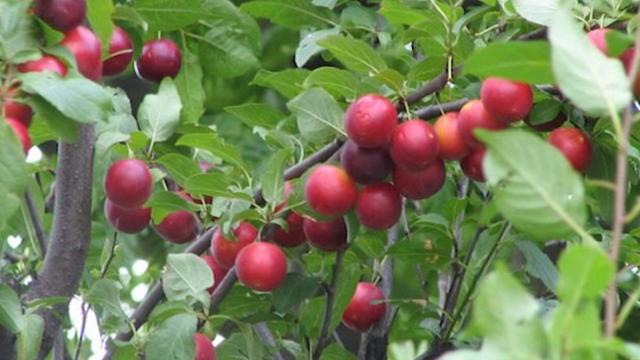 Dženarika - odlična podloga za kalemljenje šljive i kajsije