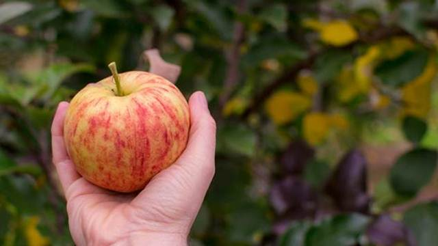 Kako suzbiti gorku trulež kod jabuke i višnje