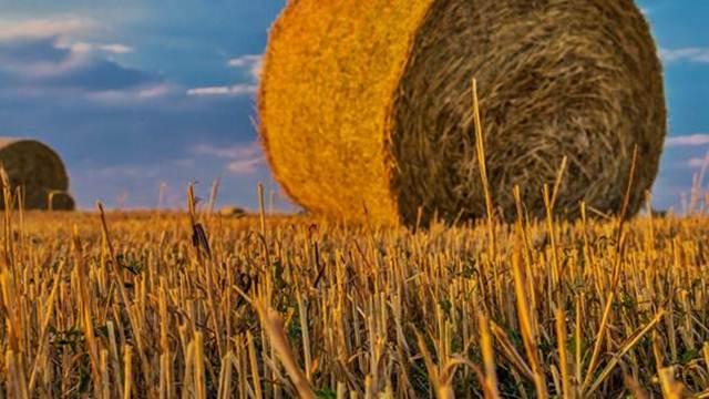 Mikotoksini - obavezni pratioci proizvodnje žitarica