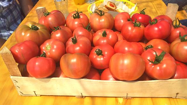Organska proizvodnja paradajza