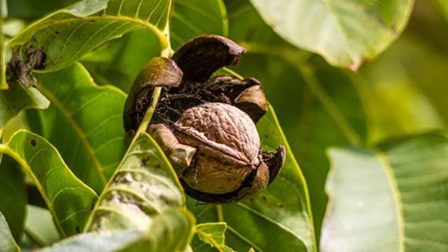 Odabir i raspored sorti oraha u voćnjaku