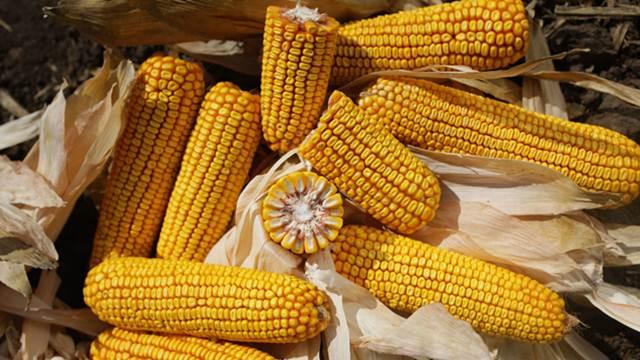 Hibridi kukuruza za čistu desetku