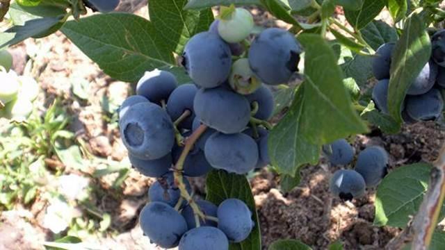 Uz kvalitetne sadnice borovnice prinosi su zagarantovani
