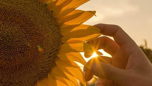 Visoki prinosi suncokreta mogući samo ako nema korova
