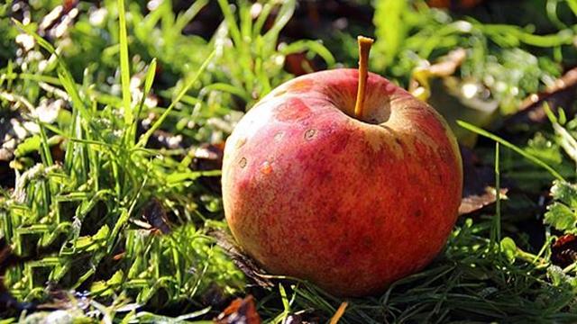 Plantaža jabuka: Deo stalnog porodičnog prihoda