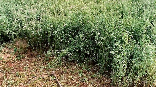 Suzbijanjem korova u lucerištu povećava se kvalitet sena