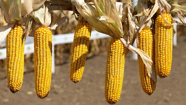 Šampion među komercijalnim hibridima kukuruza u Kikindi u FAO grupi 300