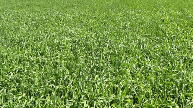 Kada i kako zaštititi pšenicu
