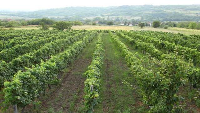 Kako se rešiti bakteriozne plamenjače vinove loze