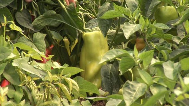 Kalemljenjem rasada paprike jača se otpornost biljke