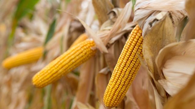 Hibridi kukuruza izuzetnog potencijala za prinos