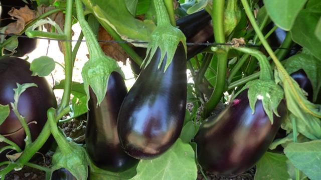 Kvalitetno seme patlidžana preduslov za dobru berbu