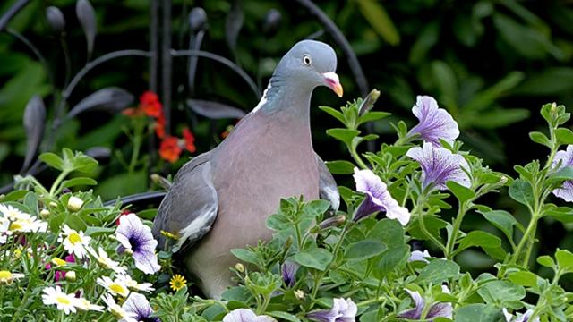 Kako zaštititi baštu od šumskih golubova