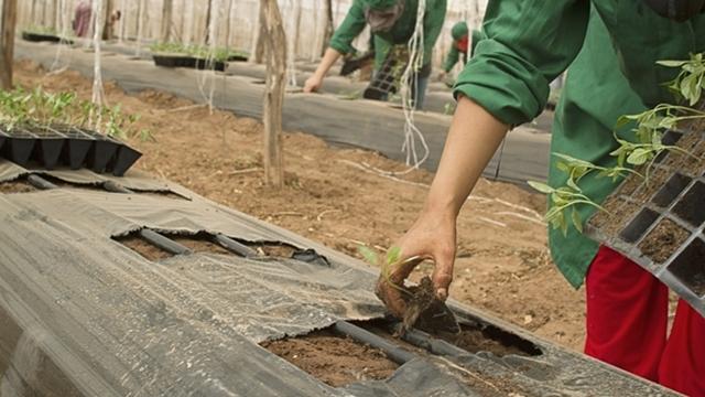 Kako boja folije za malčiranje utiče na gajene biljke