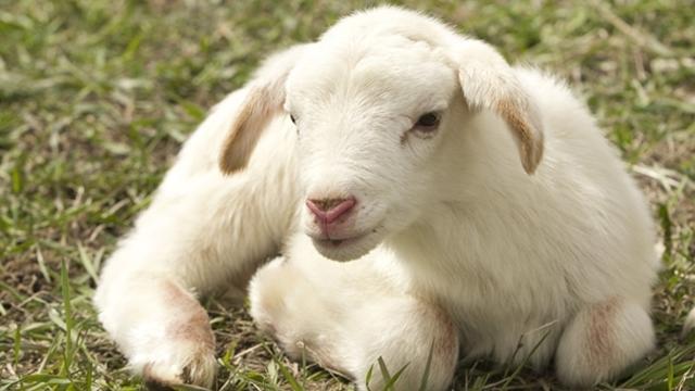 Kako pravilno hraniti jagnjad
