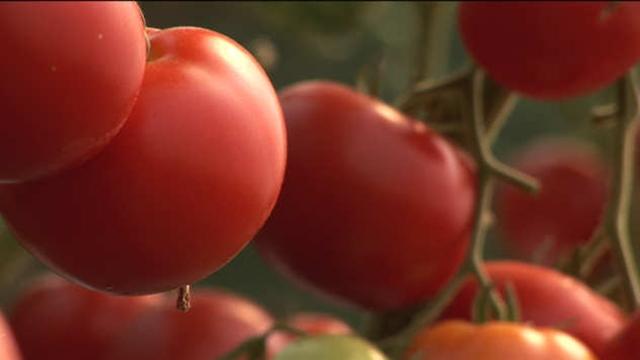 Od ove bolesti paradajza TRULE PLODOVI - SADA se suzbija!
