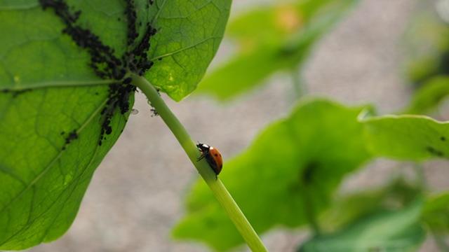 Kako se rešiti vaši iz strnih žita
