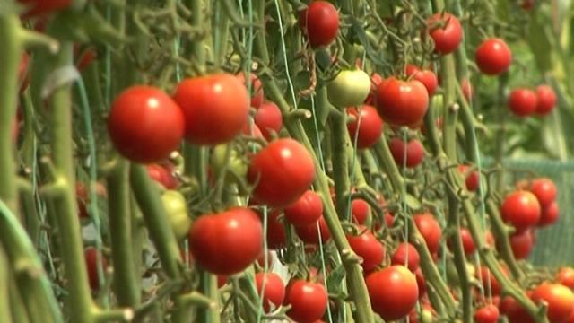 Kako suzbiti bakterioznu crnu pegavost u usevima paradajza