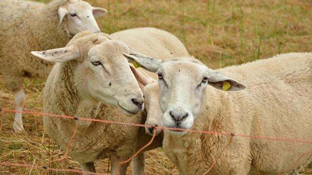 Šepavost ovaca - preventiva najbolji lek