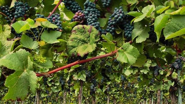 Koje podsticaje mogu da očekuju proizvođači vina