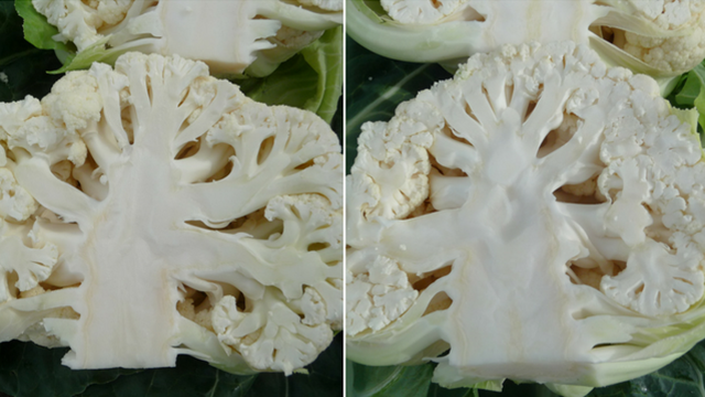 Hibridi karfiola za uspešne povrtare