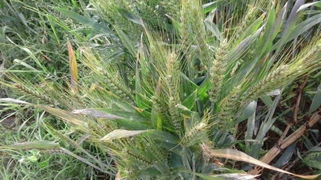Saveti za prihranu strnina i prolećnu setvu kukuruza
