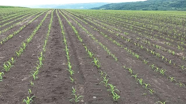 Primena zemljišnih herbicida u kukuruzu i suncokretu